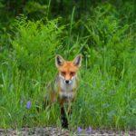 Verantwortungsvolle Fuchsjagd verbessert den Artenschutz von bedrohten Tierarten