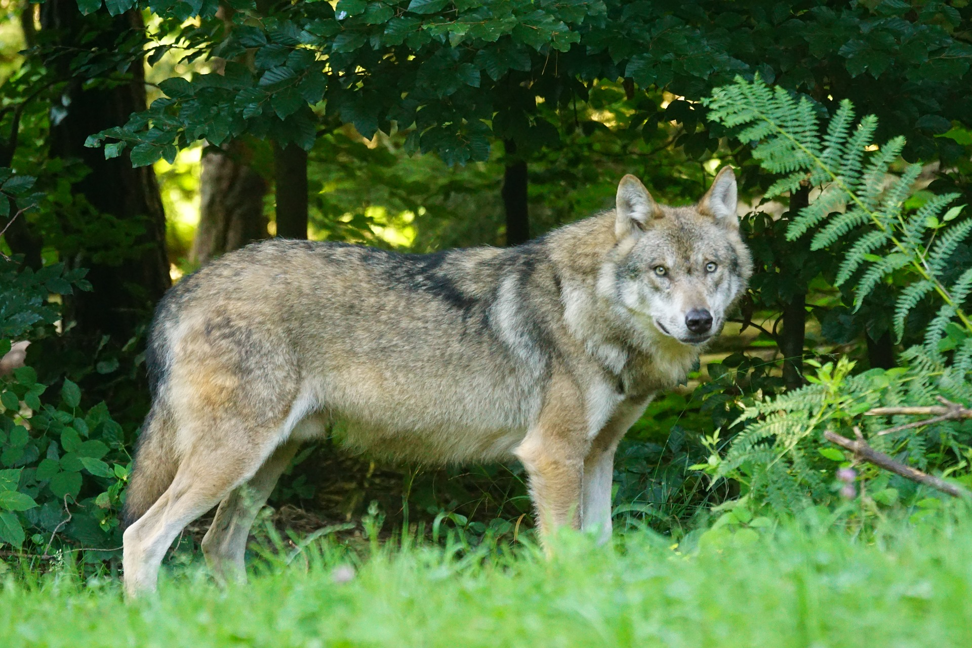 Der Wolf breitet sich auch in NRW wieder aus